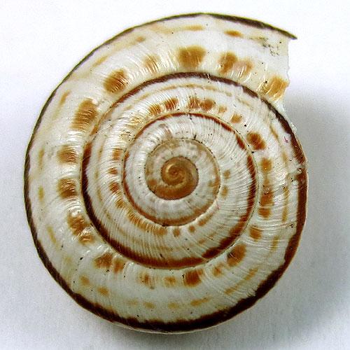 simbolo della spirale chiocciola
